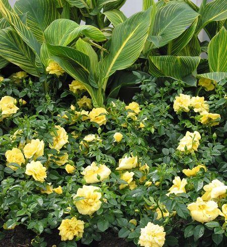 Tropicanna canna and Flower Carpet gold