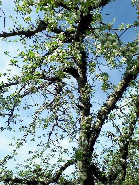 Apple tree in bloom   Apple tree, Nature, Backyard