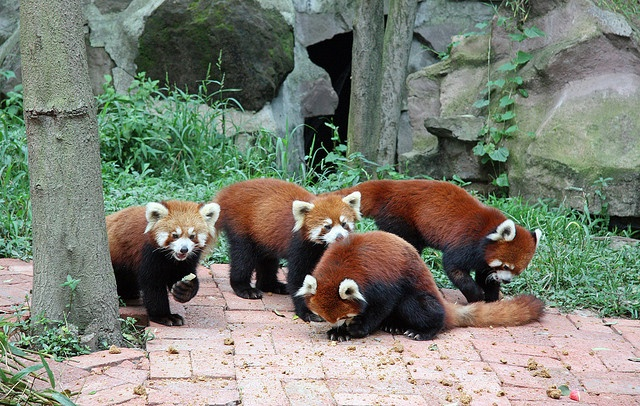 giant pandas red pandas kiel their panda party honey parties panda ...