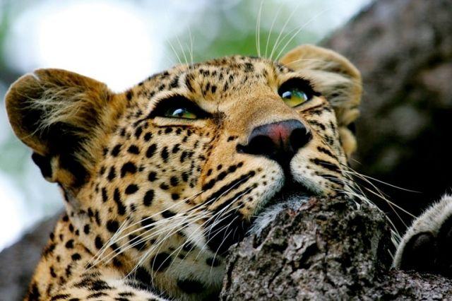 4 NIGHTS BIG FIVE SAFARI -  MADIKWE or KRUGER NATIONAL PARK   http://www.africanwelcome.com/tours-and-safaris-south-africa-botswana-namibia-vicfalls/honeymoon-packages-south-africa-botswana/bush-and-beach-african-honeymoon-safari