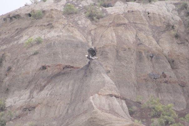 eagle near Drumheller
