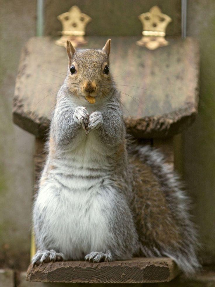Eastern gray squirrel 47 by EasternGraySquirrel on DeviantArt