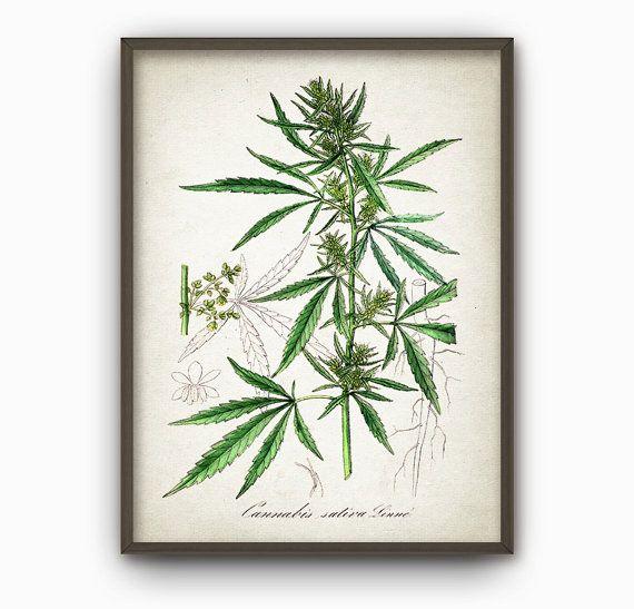 Cannabis Plant Wall Art Print  Antique Botanical by QuantumPrints