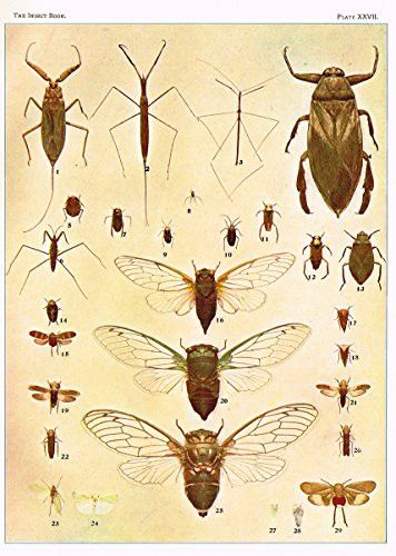 """Howard's The Insect Book - """"BUGS, LEAF-HOPPERS AND CICADAS"""" - Lithograph - 1902"""
