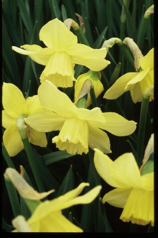 "Jonquil:  ""Return my affection"" - Language  of Flowers...so romantic"