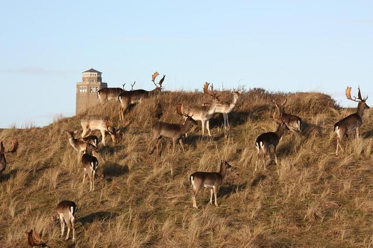 Herten in Zandvoort aan Zee, watertoren