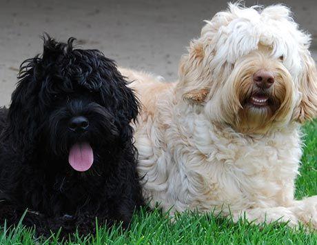 Australian Labradoodle Breeders, Puppies for Sale, Tamaruke ...