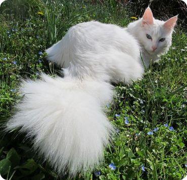 Caracteristicas de los gatos Angora