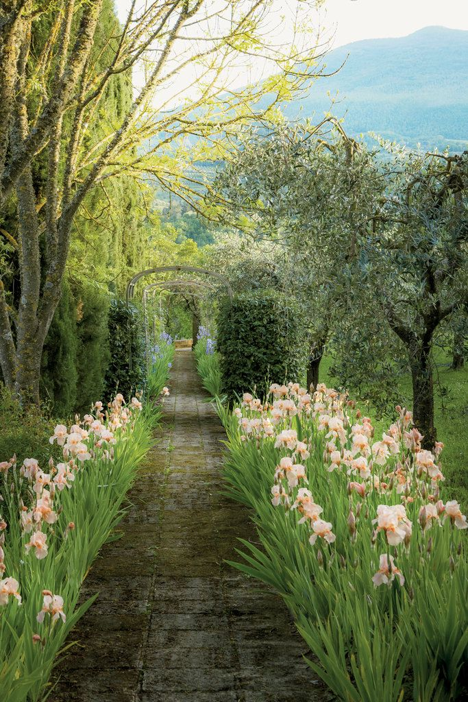 A path shaded by olive trees and flanked by Florentine irises | Ricardo Labougle