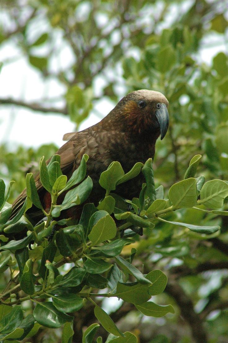 Kaka on Kapiti Island