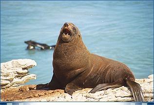 http://www.kaikouramotel.co.nz/images/photos-kaikoura-seal2.jpg