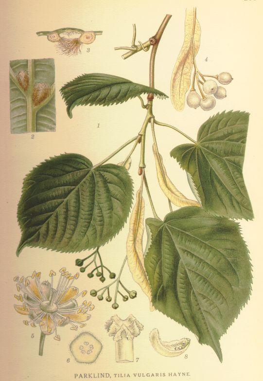 Tilia x vulgaris