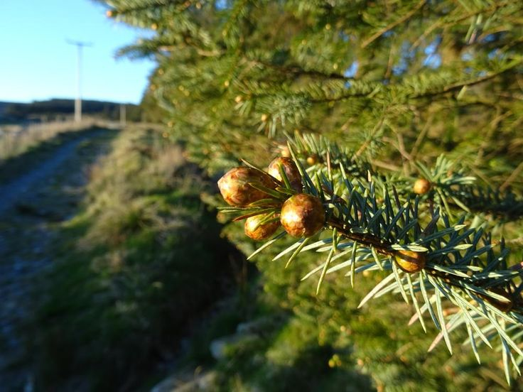 Shiny Pine Buds by A Place to Retire