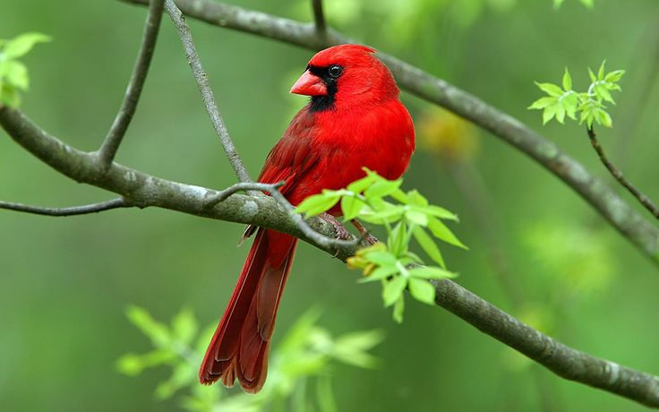 cardinals make me so happy. the light at the end of the tunnel..a long winter.Animal Pictures, Animal Photography, Birds Food, Birds Feeders, Birds Photography, Nature Photography, Colors Birds, Beautiful Birds, Wild Birds