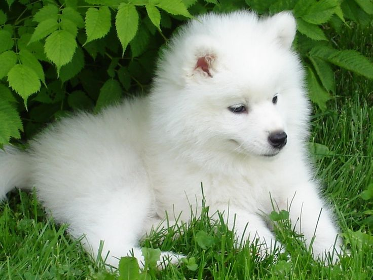Baby Samoyed puppy ❤ love these dogs!