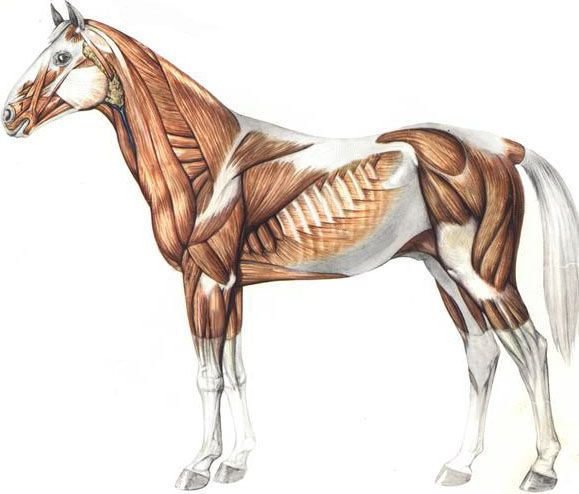 muscles of a horse | horse muscles 2