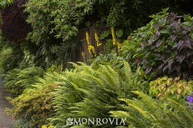 Monrovia's Western Sword Fern details and information. Learn more about Monrovia…