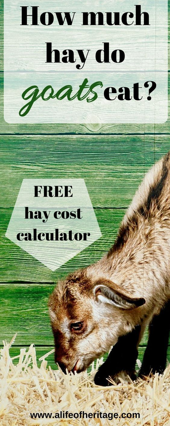 How much hay do goats eat? Find out how much hay you will need for your herd of goats using this free hay cost calculator. #goats #hay