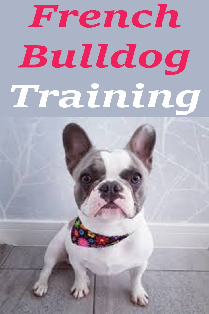 Training Your French Bulldog In Socialization Dogtraining