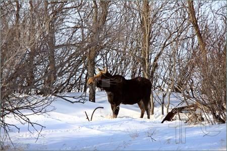 Google Image Result for http://www.featurepics.com/FI/Thumb300/20110516/Prairie-Moose-Winter-Saskatchewan-Canada-1881531.jpg
