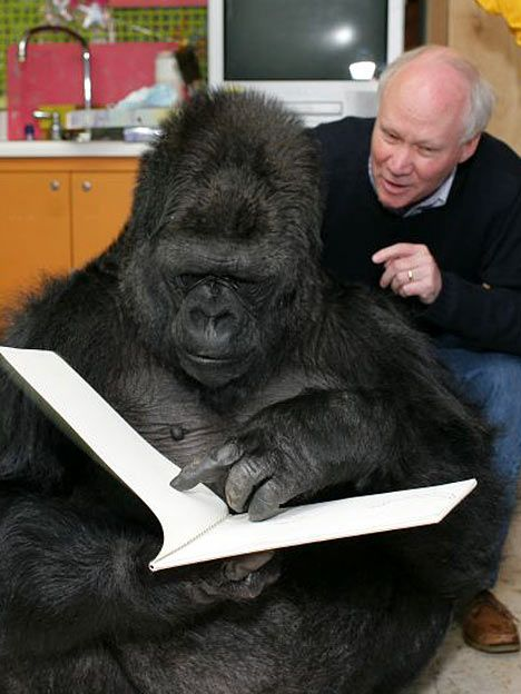 penny and koko the gorilla | Koko (gorilla) translations • Free online multilingual dictionary