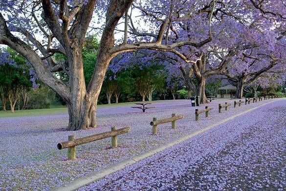 Jakkaranda in bloom in Pretoria, South Africa