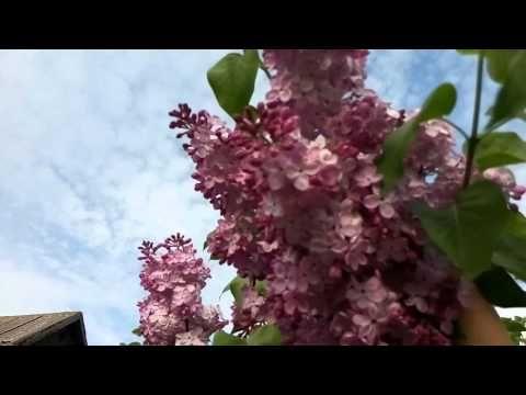 Сирень.Секреты обильного цветения. - YouTube