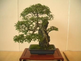 Ishitzuki Bonsai - clinging-to-rock or Planted on rock. So you have more interest with stone.