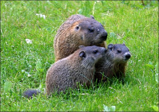 woodchuck - oh good, they're planting our garden again :O)