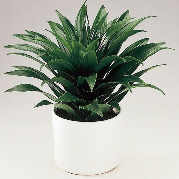 Dracaena 'Janet Craig' (Dracaena deremensis) | just got one of these for my writing space LOVE it.