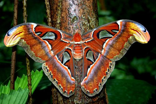 Butterfly? Nope, moth! There are plenty of large and colorful moths in the world, and this one is the largest - the Atlas Moth (Attacus atlas) of Asia. via The Featured Creature: Atlas Moth, North America, Butterflies, Attacus Atlas, South America, Master Bedrooms, Colors Schemes, Greek Mythology, Moth Attacus