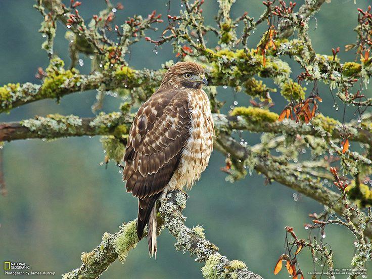 Fotografia di James Murray  Mi trovavo nel Chambers Creek Park nello stato di Washington. Ho scattato questa foto di un falco dalla coda rossa che cercava di scaldarsi.