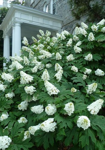 HYDRANGEA QUERCIFOLIA 'SNOW QUEEN' - Oakleaf Hydrangea- For front bed in front of house