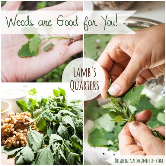 Weeds are Good for You!: Lamb's Quarters