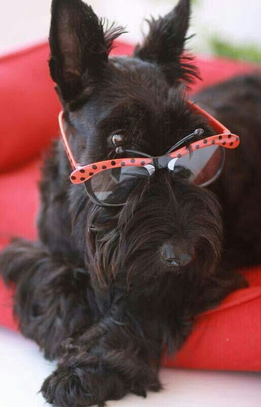 Pin By Lisa Howell On Pets Scottish Terrier Scottie Dog Terrier