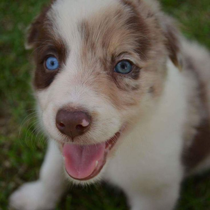 A Red Merle Border Collie Puppy With One Blue Eye And One Green