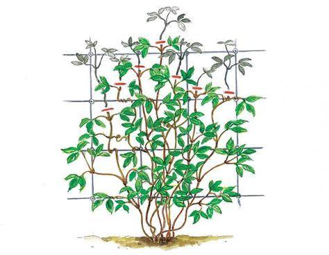 die besten 25 clematis schneiden ideen auf pinterest pflanzen vermehrung blumengarten und. Black Bedroom Furniture Sets. Home Design Ideas