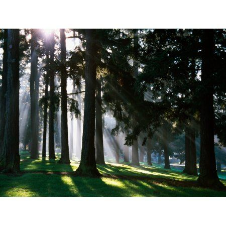 Sunbeams through misty trees Oregon united states Canvas Art - Panoramic Images (24 x 18)