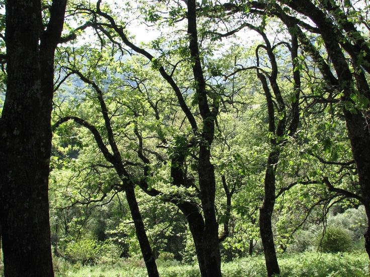 Pasear por la montaña de Villanueva de la Vera (Sierra de Gredos) es toparse con parajes tan bonitos como este conjunto de robles.