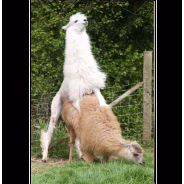 Best Life As An Alpaca Images On Pinterest Alpacas Animal - 22 hilarious alpaca hairstyles