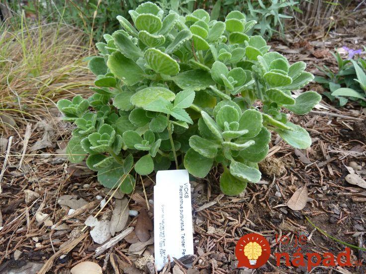 Rastlina, na ktorú sa pozeráte nie je mäta. Prečítajte si, prečo by nemala chýbať vo vašej spálni!