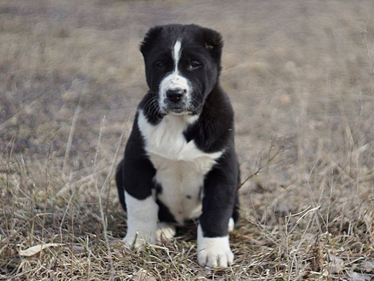 Central Asian Ovtcharka Alabai dog, Puppies, Mastiff puppies