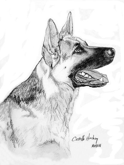 Commissioned pet portrait drawing of a young German Shepherd dog from photo done in graphite pencil by artist, L. Costello Hinchey.