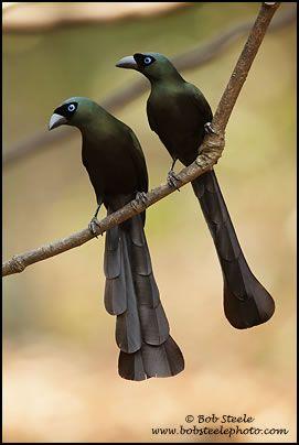 Racket-tailed treepies
