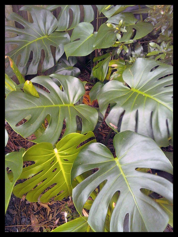 180 best tropical plants full sun images on pinterest. Black Bedroom Furniture Sets. Home Design Ideas