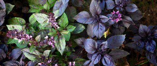 Bazalku můžete pěstovat na záhoně i v květináči