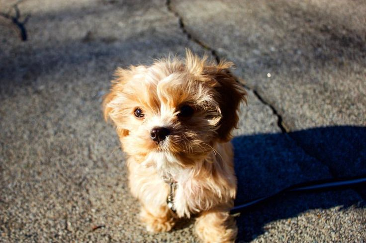Cavapoo puppies for sale central san jose ca in 2020