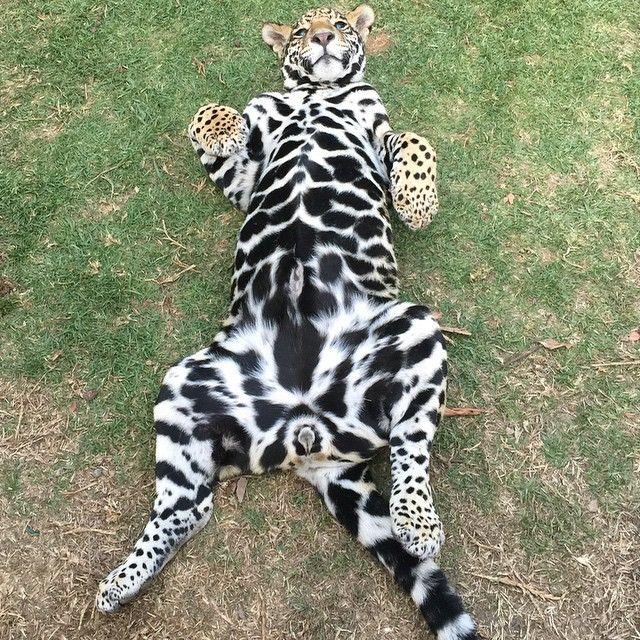 White Jaguar Cat: 40 Best Black Jaguar White Tiger Foundation Images On