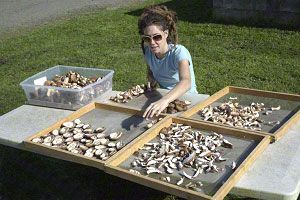 Sun drying Shiitake mushrooms. You can make your own supply of vitamin D-enriched mushrooms by simply exposing them to sunlight. You can sun dry or UV-zap store-bought or homegrown shiitake, maitake, button, and many other mushroom species.