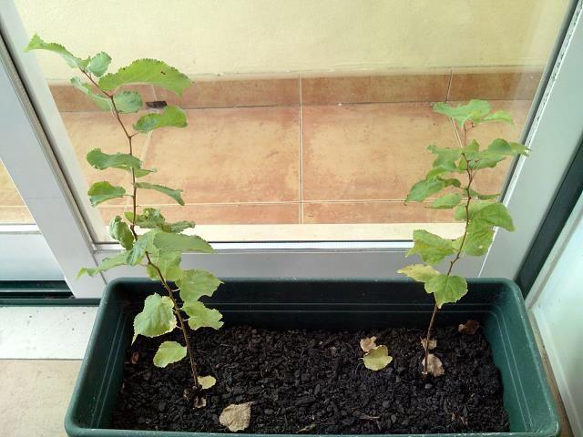 Germinar sementes de damasco